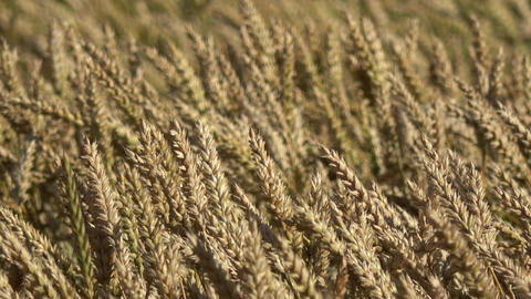 Wind in ripe golden wheat fields, ears motion in wind, agriculture background Live Action