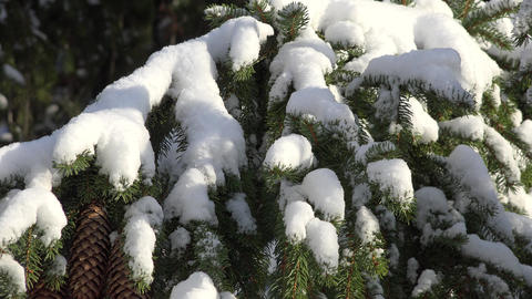 Pine Tree Covered With Snow Live Action