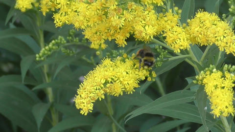 Bumblebee collects nectar Footage