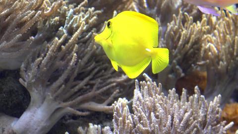 Yellow Fish in Aquarium Live Action