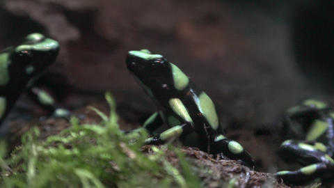 Small Green and Black Frogs or Toads Footage