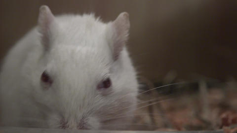 Closeup of White Mouse Footage
