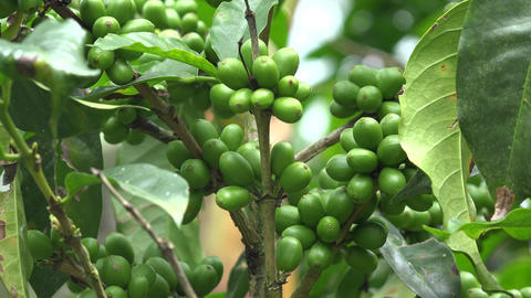 Coffee Beans on Coffee Plant Footage