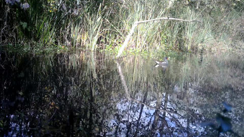 Common Eurasian Coot (Fulica Atra) in swamp pond in a sunny day with reflexions Footage