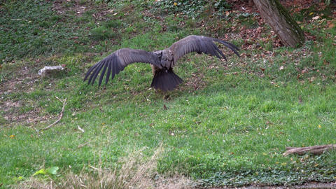 Vulture ( Aegypius monachus ) on the ground Live Action