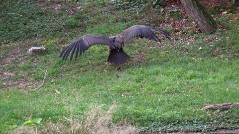 Vulture ( Aegypius monachus ) on the ground GIF