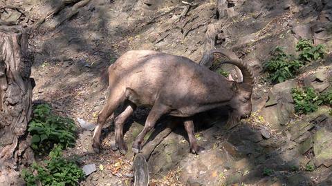 Male West Caucasian tur (Capra caucasica), also known as the West Caucasian ibex. Wildlife animal GIF