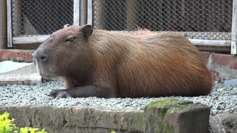 Rodents, Capybara, Zoo Animals, Mammals, Wildlife Footage