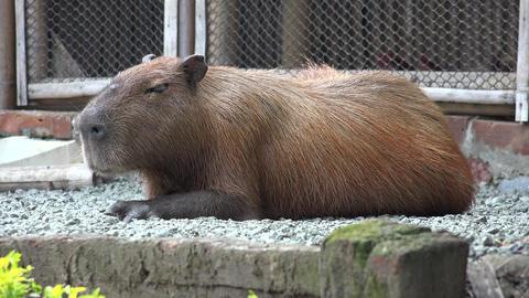 Rodents, Capybara, Zoo Animals, Mammals, Wildlife Footage