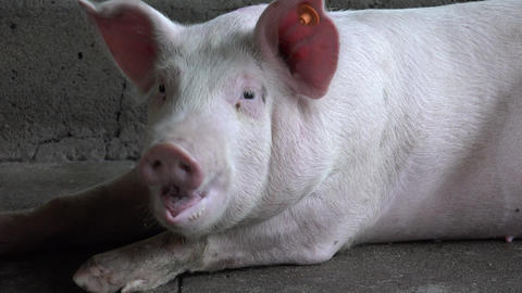 Pigs, Hogs, Swine, Farm Animals Footage