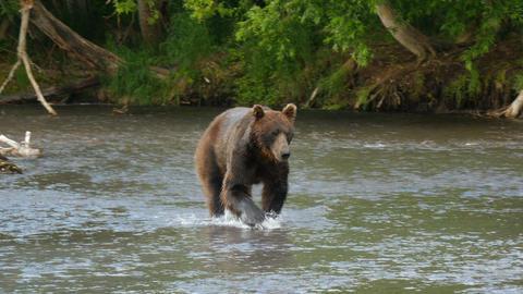 kamchatka brown bear walking in river Footage