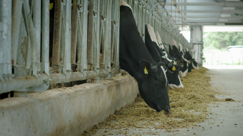 Cows eat in the stall. Cowshed in the countryside. A lot of cows in a cow house ビデオ