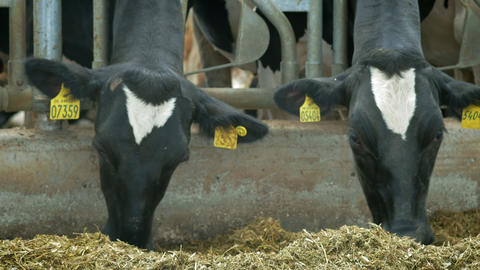 Cows In Cow House - Cattlles - Cowshed Animal Farming. Cows eat in the stall ビデオ
