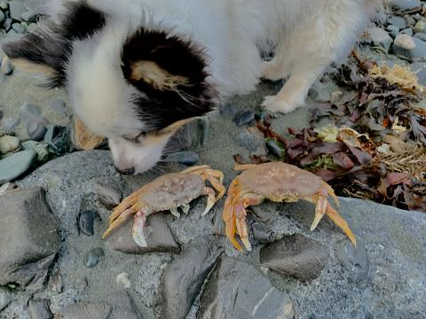 Dog playing with crab フォト