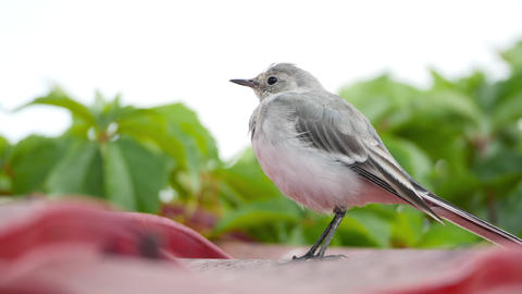 White wagtail (Motacilla alba) chick on a roof Footage