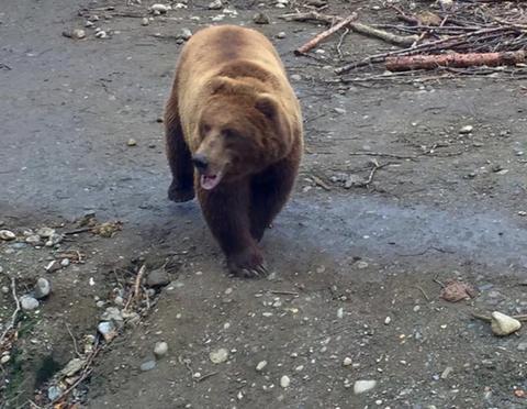 Brown bear フォト