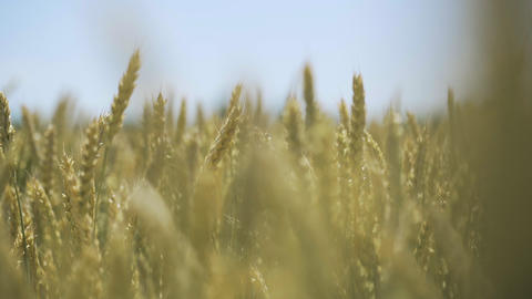 Wheat field. Golden ears of wheat on the field Footage