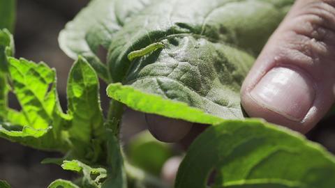 Male hand shiws a Caterpillar on green leaf, macro GIF
