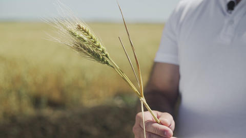 Close up of male hand holding spikelets of yellow ripe wheat on golden field GIF