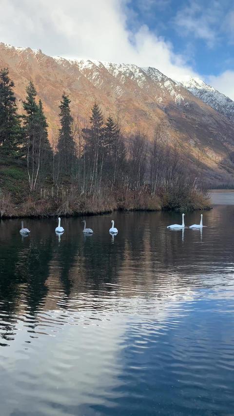 Swans ビデオ