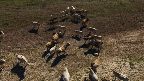 Aerial view Cows grazing on pasture GIF