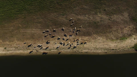 Aerial view cows graze on pasture on a autumn day ビデオ