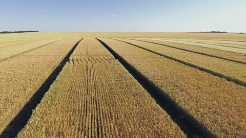 Aerial view of golden wheat field. Aerial video Live Action