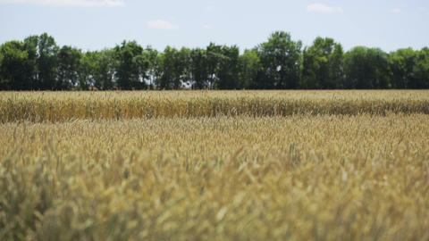Wheat field. Golden wheat ears in agricultural cultivated field Footage