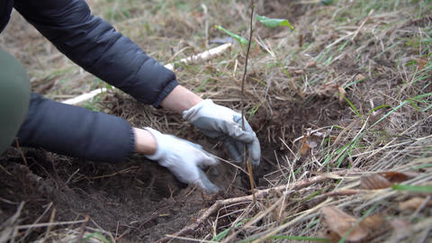 plantation of young trees for forest regeneration after intervention by natural Live Action