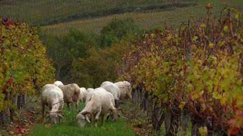 Sustainable development, Flock of sheep grazing grass in Bordeaux Vineyard GIF