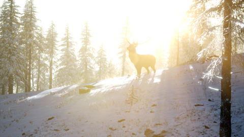 Proud Noble Deer Male in Winter Snow Forest ビデオ