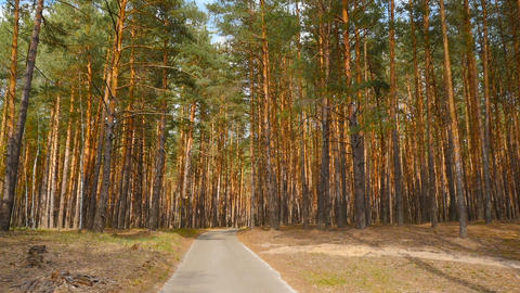 Beautiful pine forest. Long road. Beautiful place. Camera moves forward Live Action