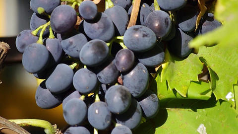 Aromatic black grapes Footage