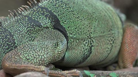 Wild Iguana Climbing Tree Trunk Footage