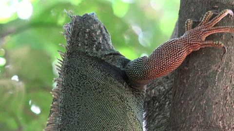 Wild Iguana Climbing Tree Trunk Live Action