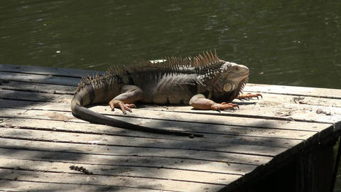 Iguana on Dock at Lake Live Action
