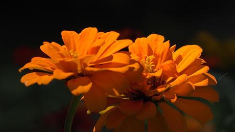 Orange Wild Flowers in Garden Live Action