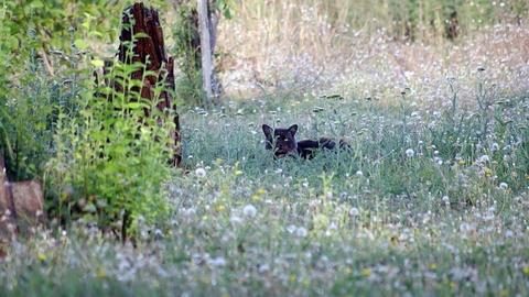 Black cat on the hunt Footage