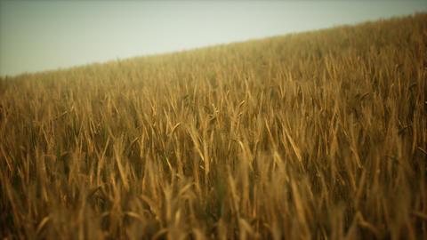 Ripe yellow rye field under beautiful summer sunset sky with clouds ビデオ