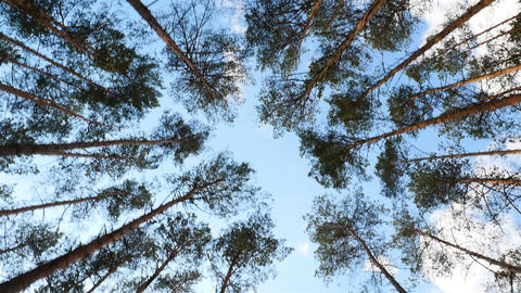 Beautiful tops of pine trees in the forest. The camera moves around the trees Live Action