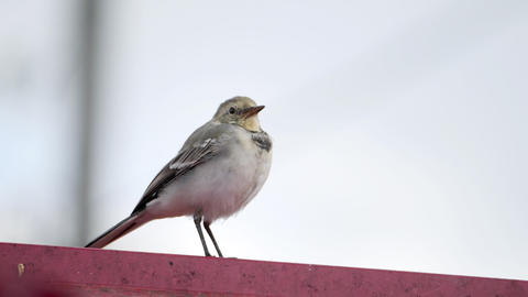 White wagtail Motacilla alba on a roof ビデオ