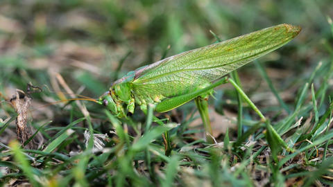 Big green locust female lays eggs GIF