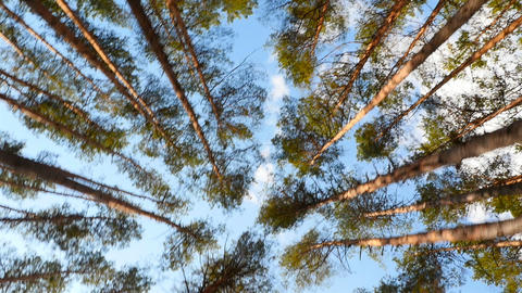 Tall pine trees in the forest. The camera moves around the trees. Bright Live Action