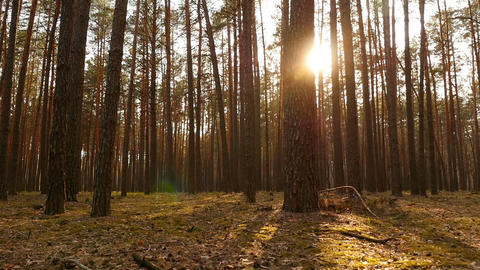 Old pine forest with green moss. Bright sun rays of the sun. The camera is in Live Action