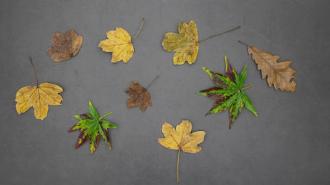 Green, yellow and brown leaves appear on grey background - Stop motion animation Animation