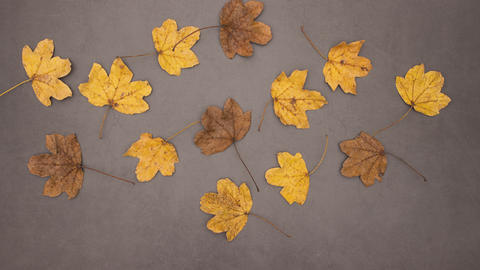 Autumnal yellow and brown leaves falling on gray background - Stop motion animation Animation