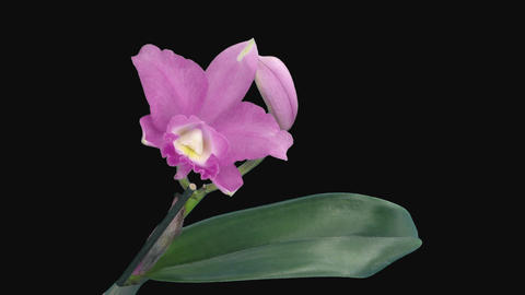 Time-lapse of opening pink Cattleya orchid with ALPHA channel GIF