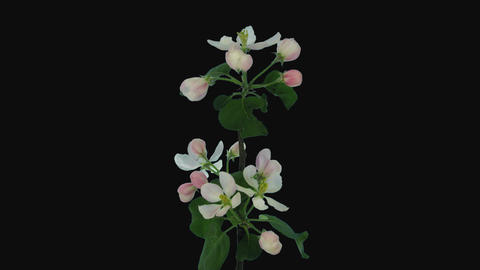 Time-lapse of blooming apple branch, 4K with ALPHA channel Footage