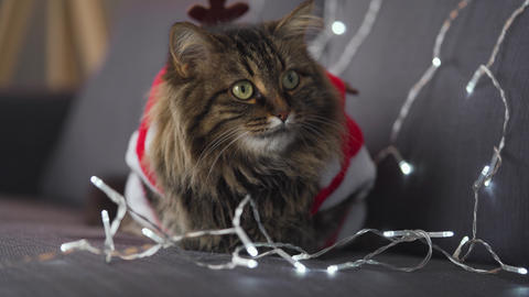 Close up portrait of a tabby fluffy cat with green eyes dressed as Santa Claus Footage
