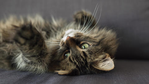 Cute tabby domestic cat lies on its back and watches the object behind the Footage